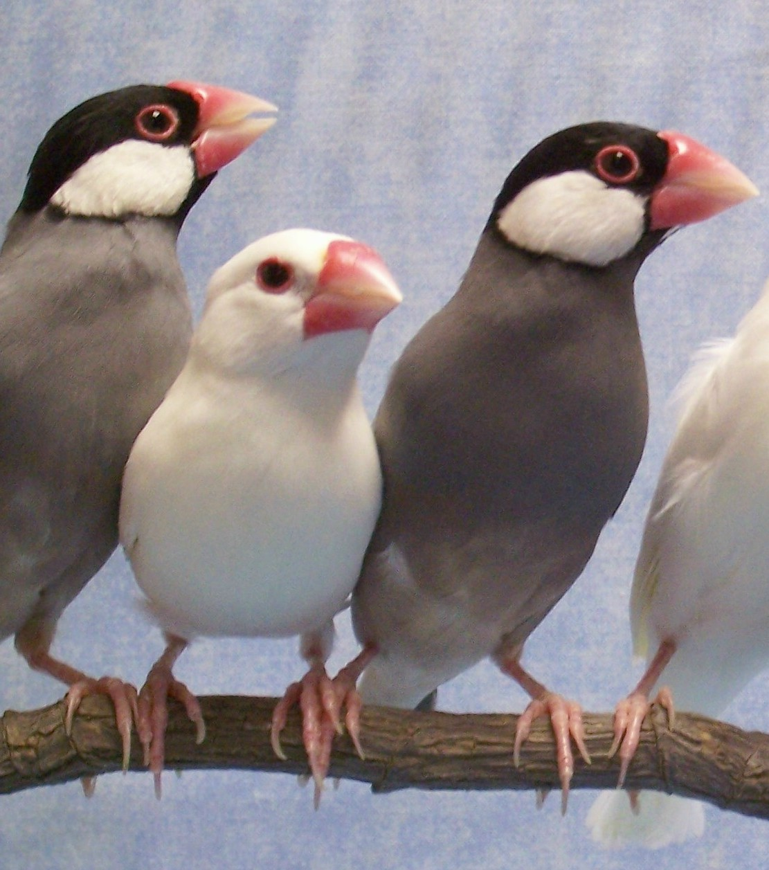 Java finches