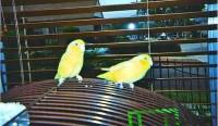 Lovebird-ParrotletLA