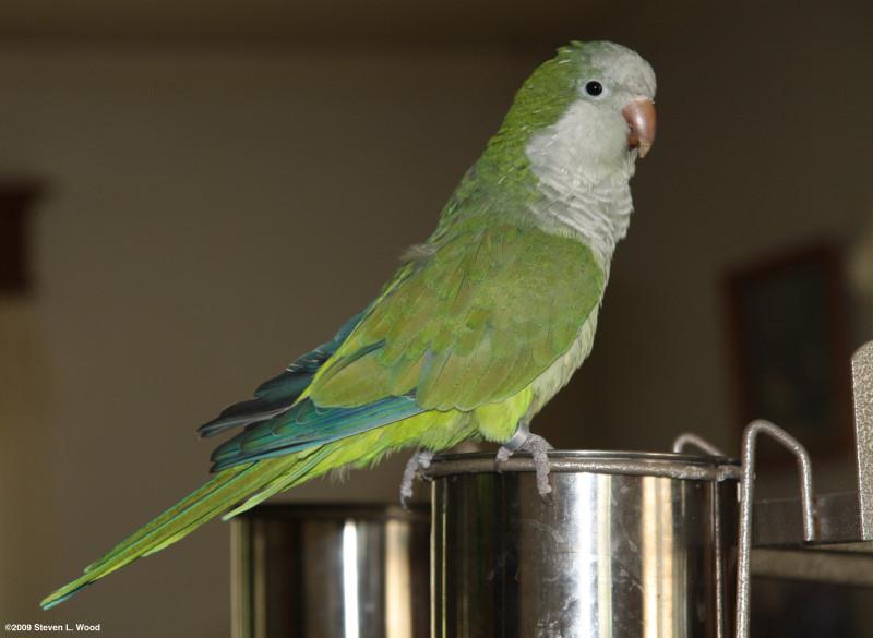 Alfa img - showing yellow baby parakeet